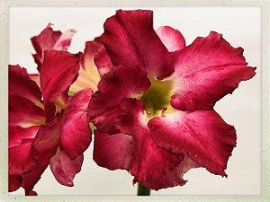 DUPLICADO - Muda Rosa do Deserto de semente com flor dobrada na cor Matizada