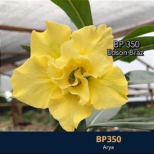 Enxerto de uma cor com flor dobrada BP 350 Arya - Importada
