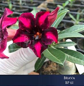 Enxerto de uma cor com flor simples BP 61 Brava - Importada