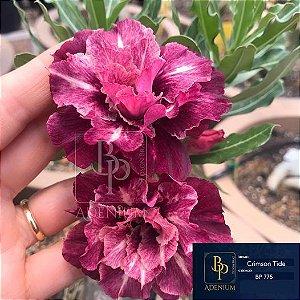 Enxerto de uma cor com flor tripla BP 775 Crimson Tide - Importada