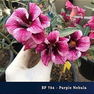 Enxerto de uma cor com flor simples BP 784 Purple Nebula - Importada