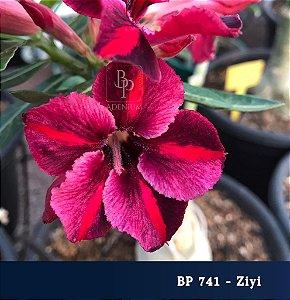 Enxerto de uma cor com flor simples BP 741 Ziyi - Importada