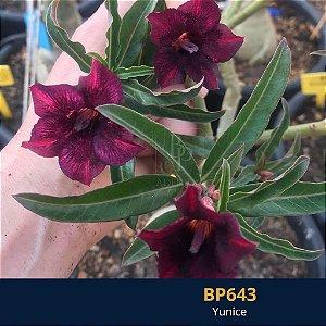 Enxerto de uma cor com flor simples BP 643 Yunice - Importada