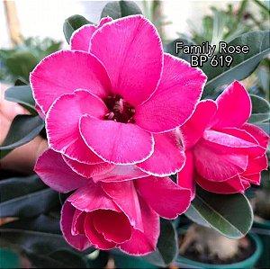 Enxerto de uma cor com flor dobrada BP 619 Family Rose - Importada