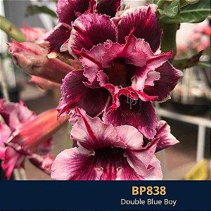 Enxerto de uma cor com flor dobrada BP 838 Double Blue Boy - Importada