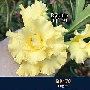 Enxerto de uma cor com flor dobrada BP 170 Brigitte - Importada
