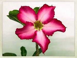 Muda Rosa do Deserto de semente com flor simples na cor Rosa