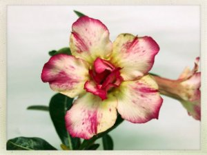 Muda Rosa do Deserto de semente com flor dobrada na cor Branca e Rosa