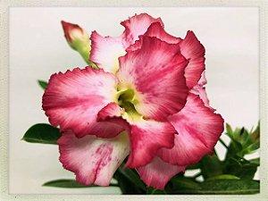 Muda Rosa do Deserto de semente com flor dobrada na cor Rosa