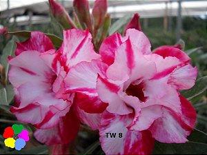 Enxerto de uma cor com flor Dobrada - TW8