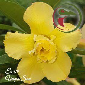 Muda Rosa do Deserto de enxerto com flor dobrada na cor amarela - EV09