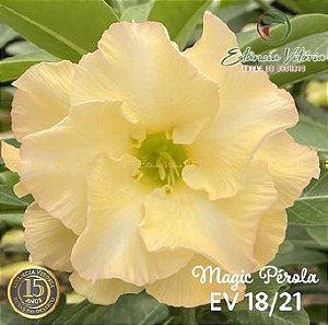 Muda Rosa do Deserto de enxerto com flor dobrada na cor amarela - EV18/21 MAGIC PÉROLA