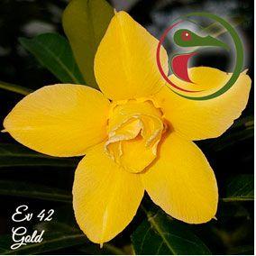 Muda Rosa do Deserto de enxerto com flor dobrada na cor amarela - EV42