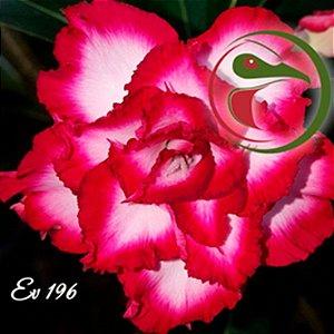 Muda Rosa do Deserto de enxerto com flor tripla na cor Rosa e Branca - EV196