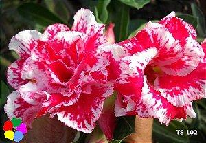 Enxerto de uma cor com flor Dobrada - TS102