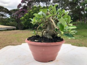 Rosa do Deserto PENDENTE adulta com 3,5 anos de cor branca
