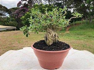 Rosa do Deserto PENDENTE adulta com 3,5 anos de cor indefinida