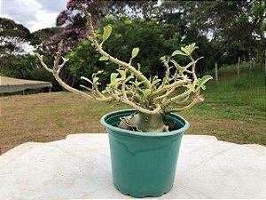 Rosa do Deserto PENDENTE adulta com 1,5 anos de cor indefinida