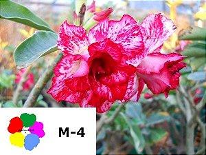 Enxerto de uma cor com flor Dobrada - M4
