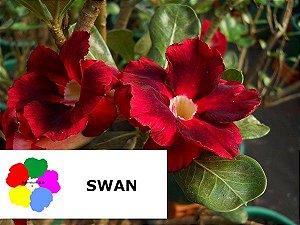 Enxerto de uma cor com flor Dobrada - SWAN