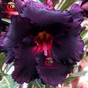 Enxerto de uma cor com flor Dobrada - NS137