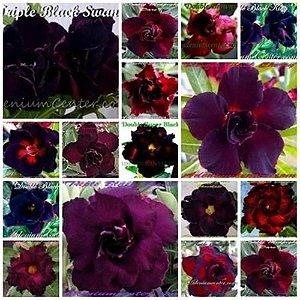 Mix com 3 sementes de flores Simples, Dobradas e Triplas