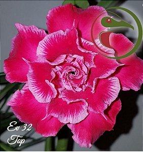 Muda Rosa do Deserto de enxerto com flor dobrada na cor Rosa - EV32