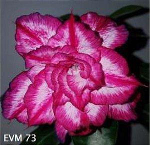 Muda Rosa do Deserto de enxerto com flor tripla na cor Rosa Matizada - EVM73