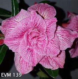 Muda Rosa do Deserto de enxerto com flor dobrada na cor Rosa Matizada - EVM139