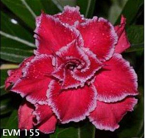 Muda Rosa do Deserto de enxerto com flor tripla na cor vermelha - EVM155