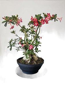 Planta adulta de Rosa do Deserto de semente com flor simples na cor Rosa