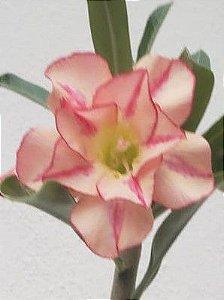 Muda Rosa do Deserto de semente com flor dobrada na cor Matizda