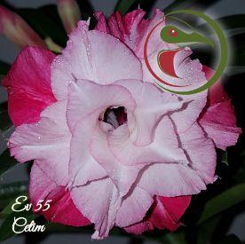 Muda Rosa do Deserto de enxerto com flor tripla na cor Rosa Matizada - EV55