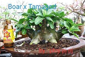 Sementes Raras - Boar x Tamagod - Kit com 2 sementes