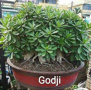 Sementes Raras - Arabicum Godji - Kit com 2 sementes
