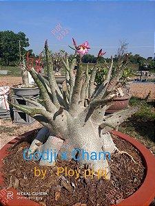 Sementes Raras - Arabicum Godji X Cham - Kit com 2 sementes