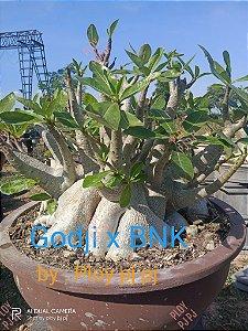 Sementes Raras - Arabicum Godji X BNK - Kit com 2 sementes