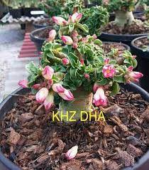 Sementes Raras - Thai Socotranum DHA KHZ - Kit com 2 sementes