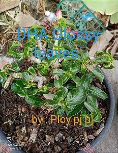 Sementes Raras - DHA Glossy Leaves- Kit com 2 sementes