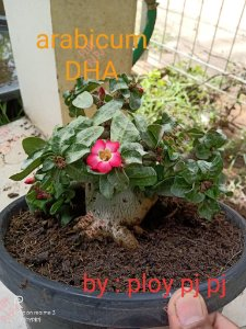 Sementes Raras - Arabicum DHA - Kit com 2 sementes