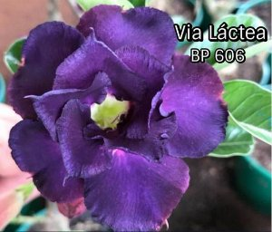 Enxerto com flor dobrada na cor Roxa BP 606 (Via Láctea) - Importada