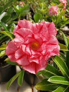 Muda Rosa do Deserto de semente com flor tripla na cor Rosa Matizada