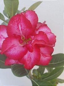Muda Rosa do Deserto de semente com flor dobrada na cor Rosa Matizada