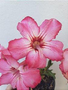 Muda Rosa do Deserto Somalense Híbrida de semente com flor simples na cor Rosa Matizada