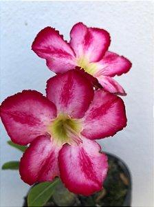 Muda Rosa do Deserto de semente com flor simples na cor Rosa Matizada