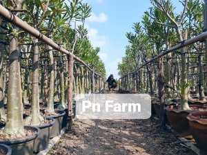 Adenium Somalense Híbrida ORIGINAL - Kit com 50 sementes - Pn Farm