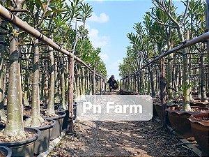 Adenium Somalense Híbrida ORIGINAL - Kit com 100 sementes - Pn Farm