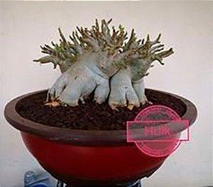 Sementes Raras - Arabicum Hulk - Kit com 2 sementes