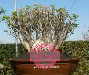 Sementes Raras - Arabicum Yak Dum - Kit com 2 sementes