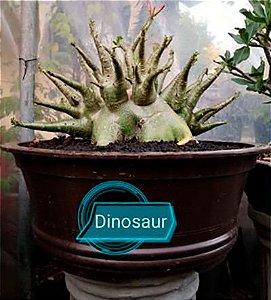 Sementes Raras - Arabicum Dinosaur - Kit com 2 sementes